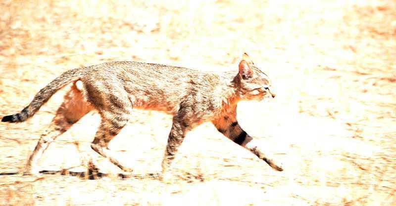 Wild Cat - Kgalagadi Transfrontier Park