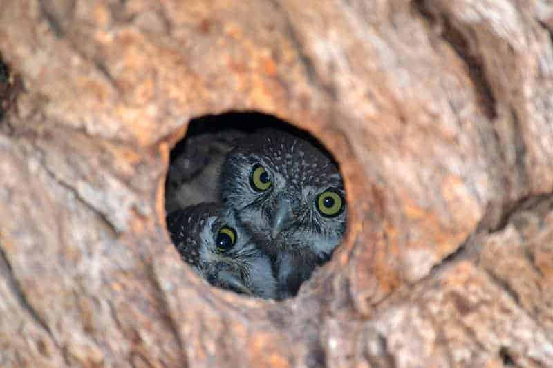 Pearl Spotted Owlets - Kgalagadi Transfrontier Park