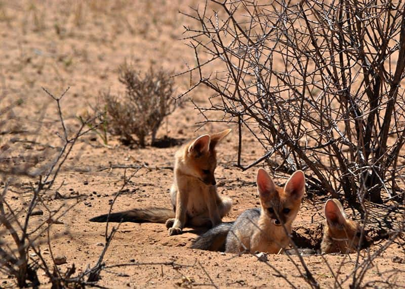 Fox Cubs Playing - Kgalagadi Transfrontier Park
