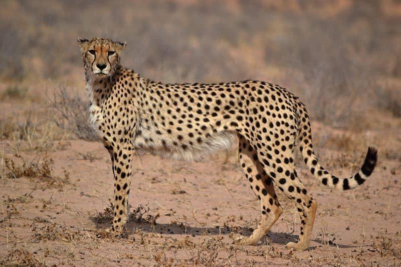 Cheetah 2 - Kgalagadi Transfrontier Park