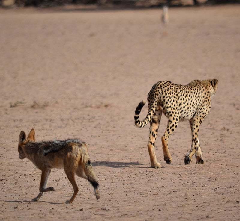 Cheetah 3 - Kgalagadi Transfrontier Park