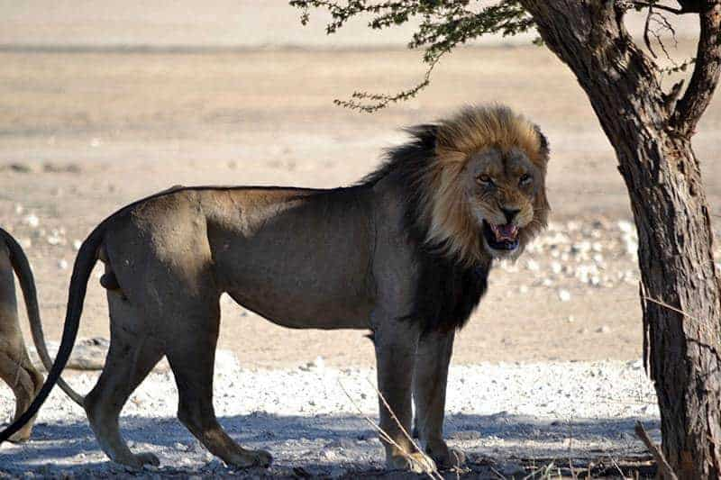 Black Mane Lion 2 - Kgalagadi Transfrontier Park
